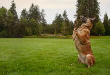 Собака не встает на задние лапы