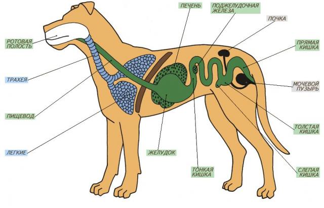 Пищеварительная система собаки детально
