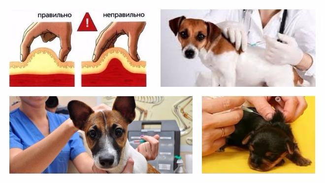 схема укола собаке