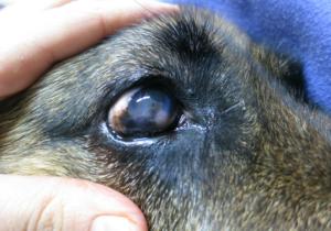 Кератит у собак причины и лечение