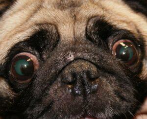 кератит у собак виды