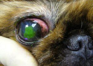 Язвенный кератит виды кератита у собак