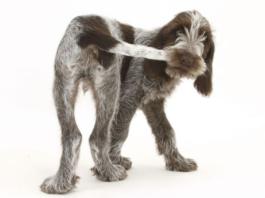 воспаление параанальных желез у собак