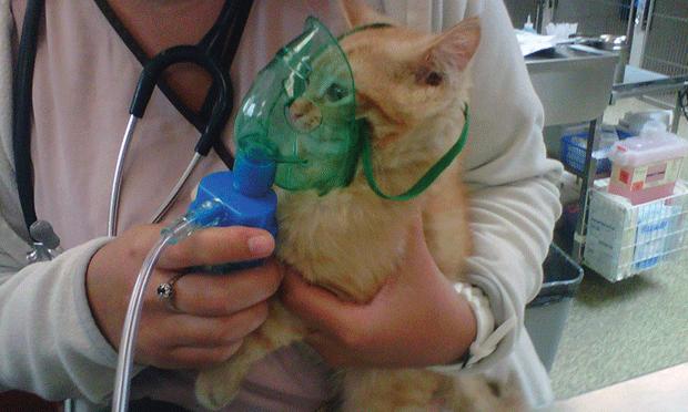 как применять небулайзер для кошки