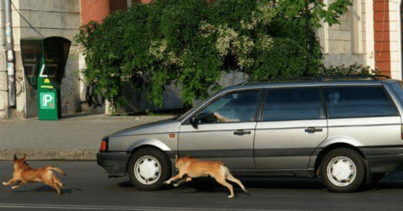 как отучить собаку кидаться на машины