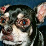 красная волчанка у собак лечение