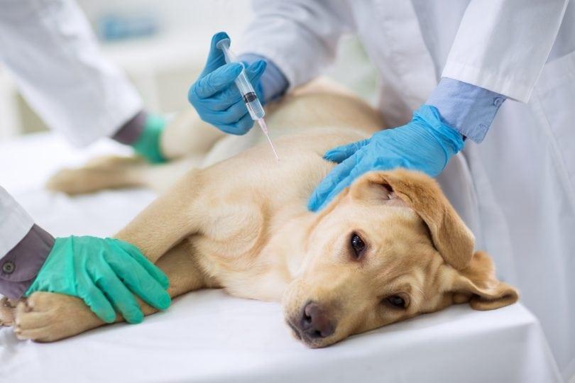 как делать внутримышечный укол собаке