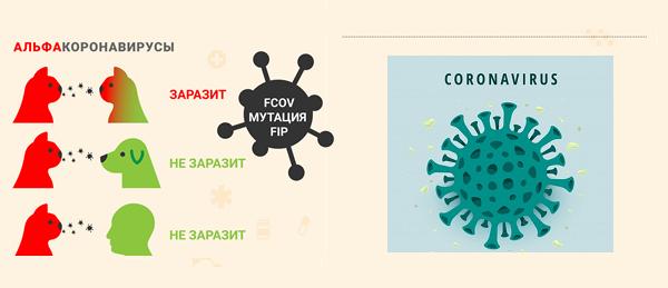 коронавирус пути передачи котам