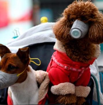 коронавирус у собак